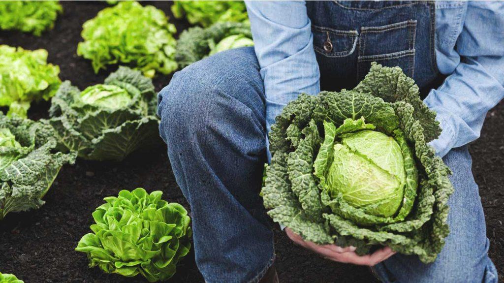 """个令人印象深刻的卷心菜的营养价值及对健康的益处"""""""