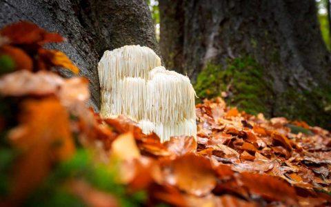 狮子鬃毛蘑菇的9个健康益处及副作用