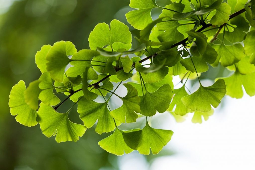 银杏叶的功效与作用:健康益处、用途和副作用